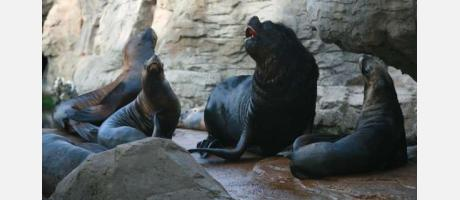 Las focas descansan
