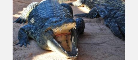Entre cocodrilos anda el juego
