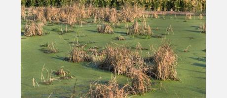 Más arrozales