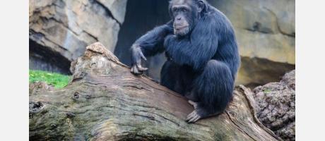 Chimpancé en el Bioparc
