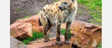 Hiena en el Bioparc