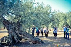 Olivos milenarios Itinerantur
