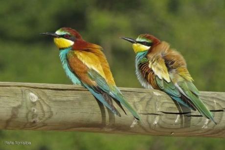 Fotges i aligots comuns arriben a l'Albufera