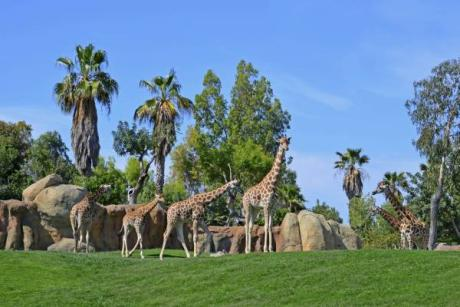 Triana and Sagira, the baby spoiled giraffes of Bioparc