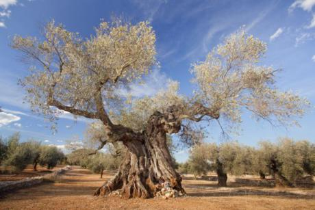 Thousand-year-old Olive trees In Cervera del Maestre